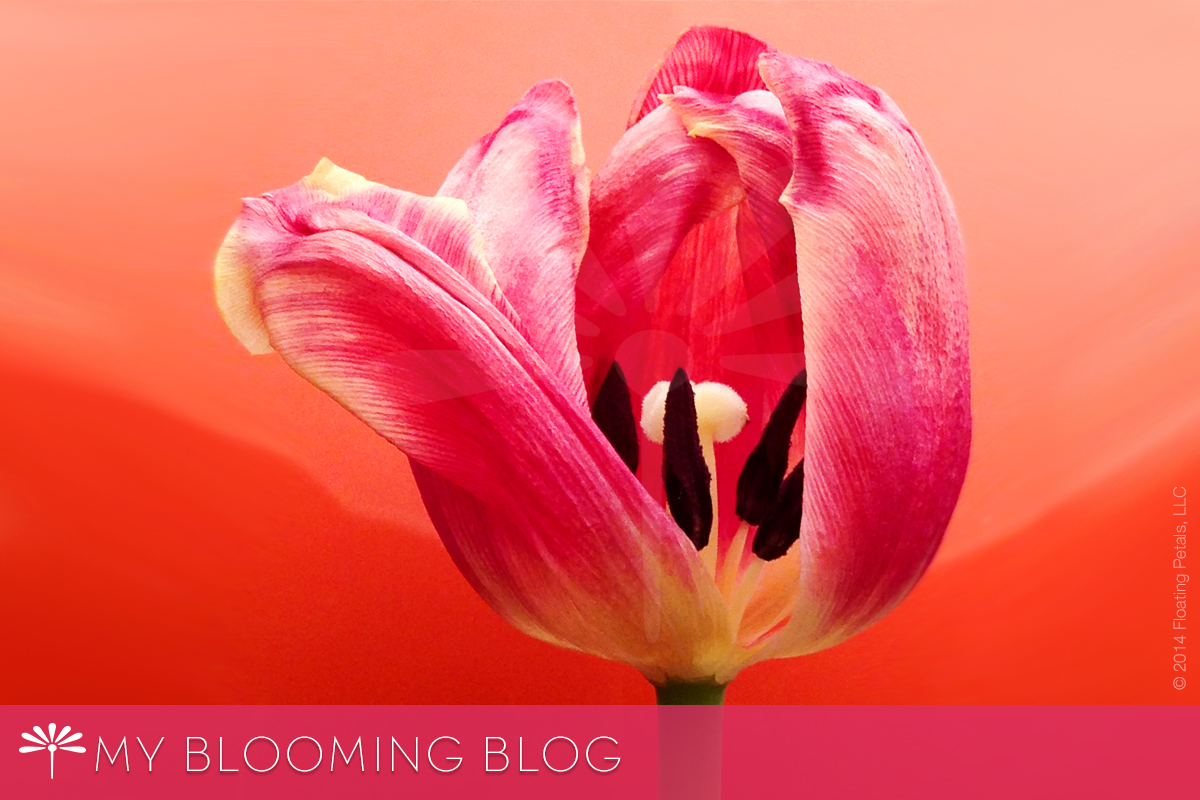 My Blooming Blog - Floating Petals - Russian Princess Tulip