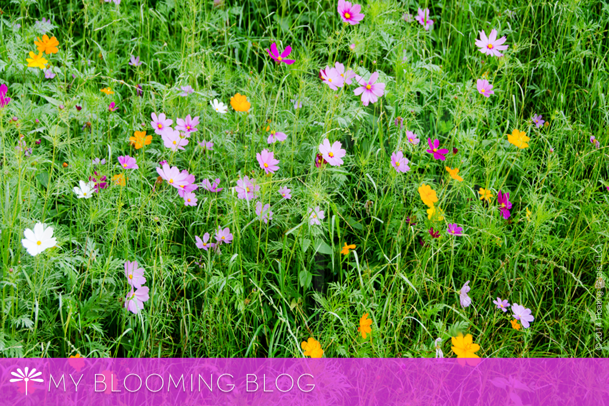 Growing Wildflowers - Cosmos