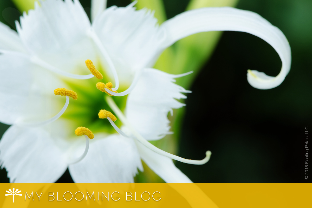 Peruvian Daffodil - The Perfect White Blanket - The Blooming Blog by Floating Petals. Inspiration, reflection and beautiful flower photography to nurture the soul.