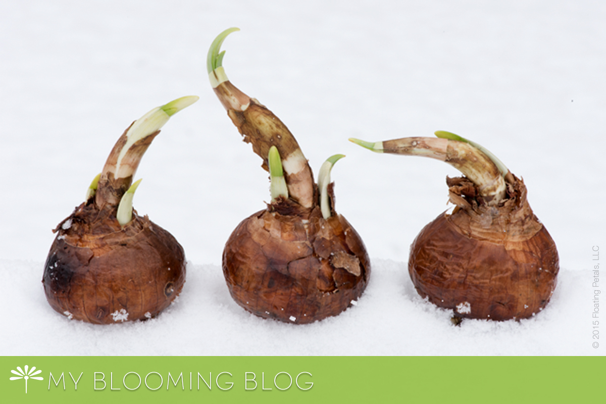 My Bloomin Blog - Planting bulbs in the snow - Narcissus Paperwhites
