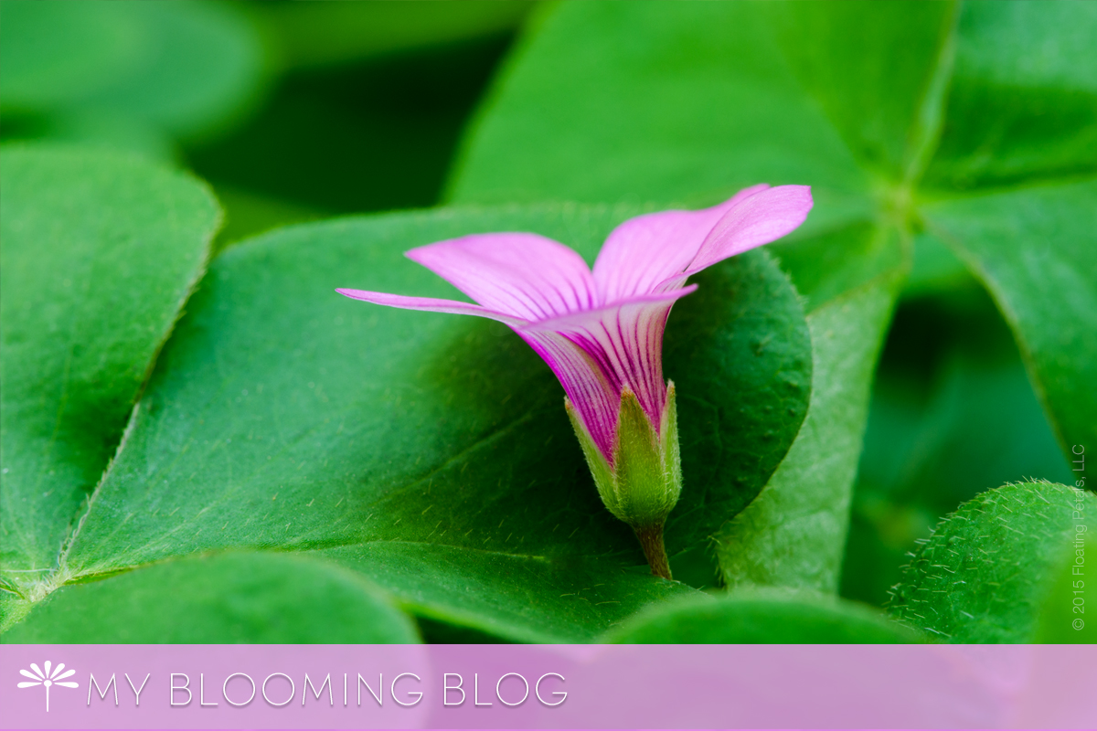 Pink Flowering Oxalis