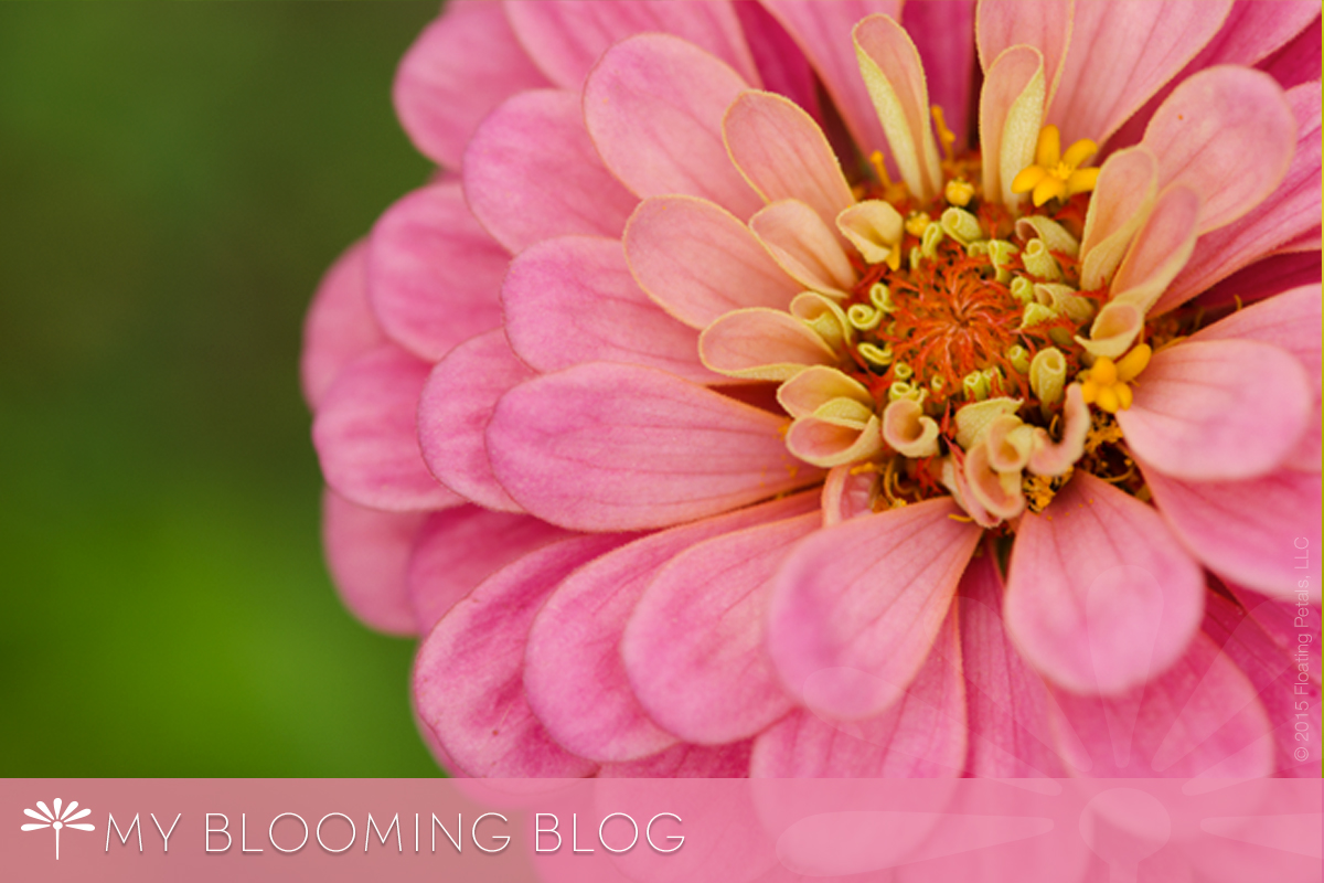 Cool Crayon Mix Zinnia