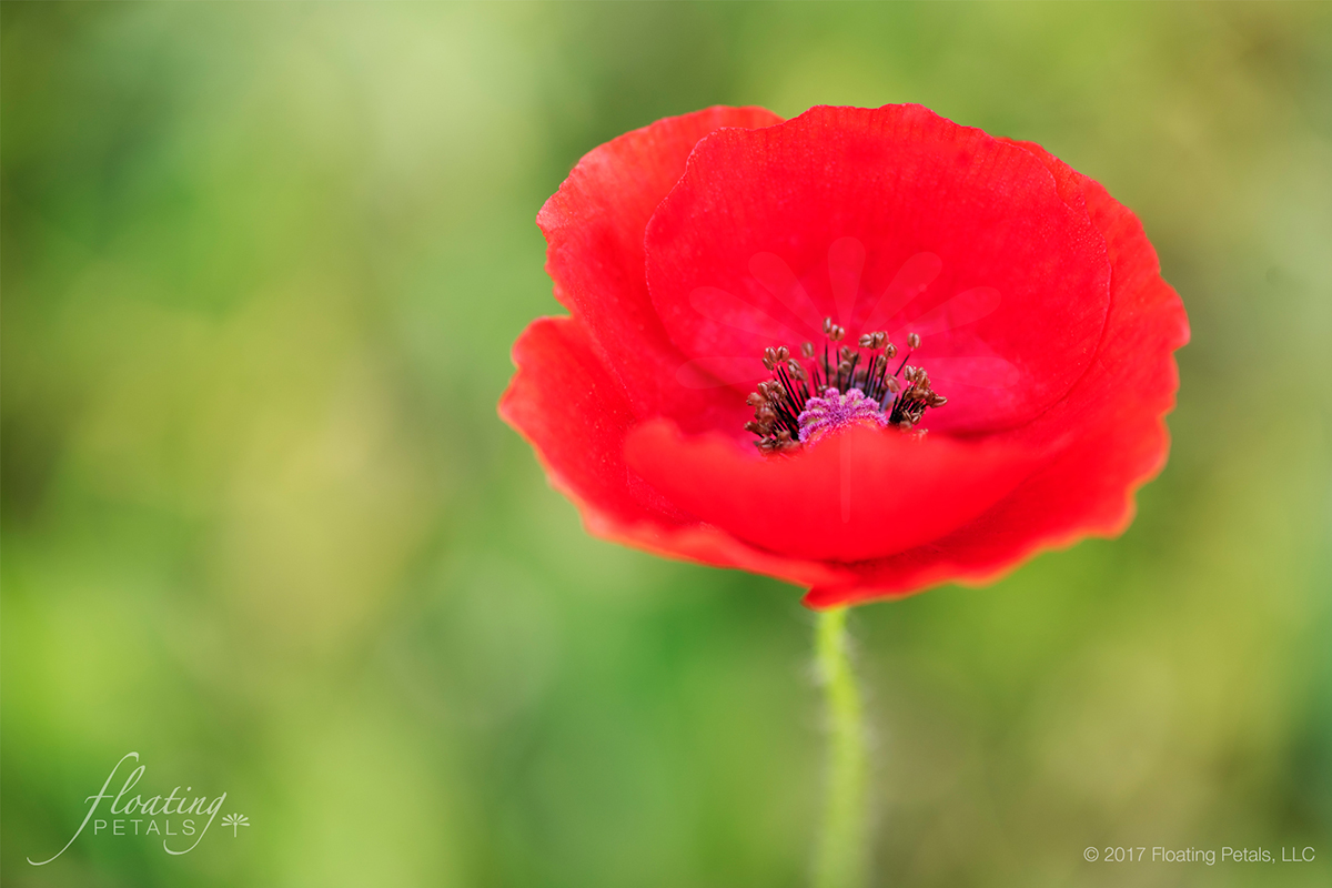 Red Shirley Poppy