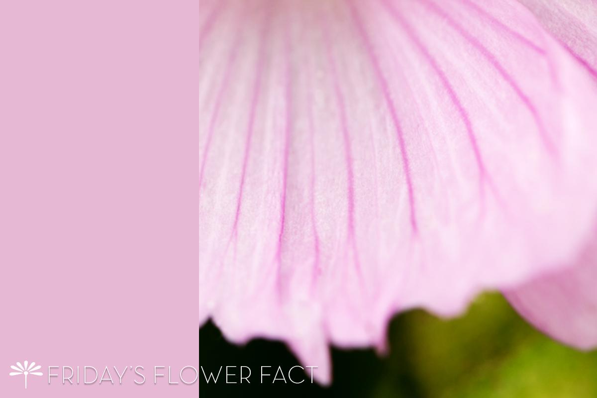 Sidalcea malviflora 'Elsie Heugh'