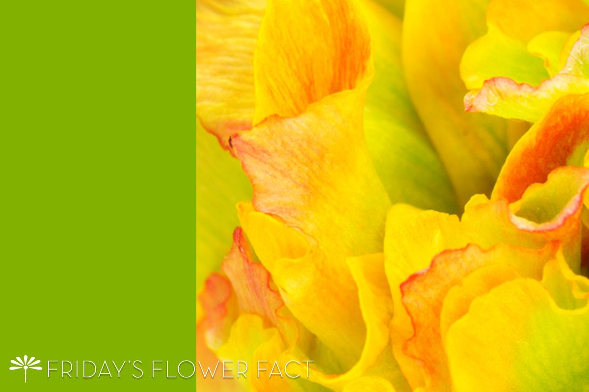 Pon Pon Trilly Ranunculus