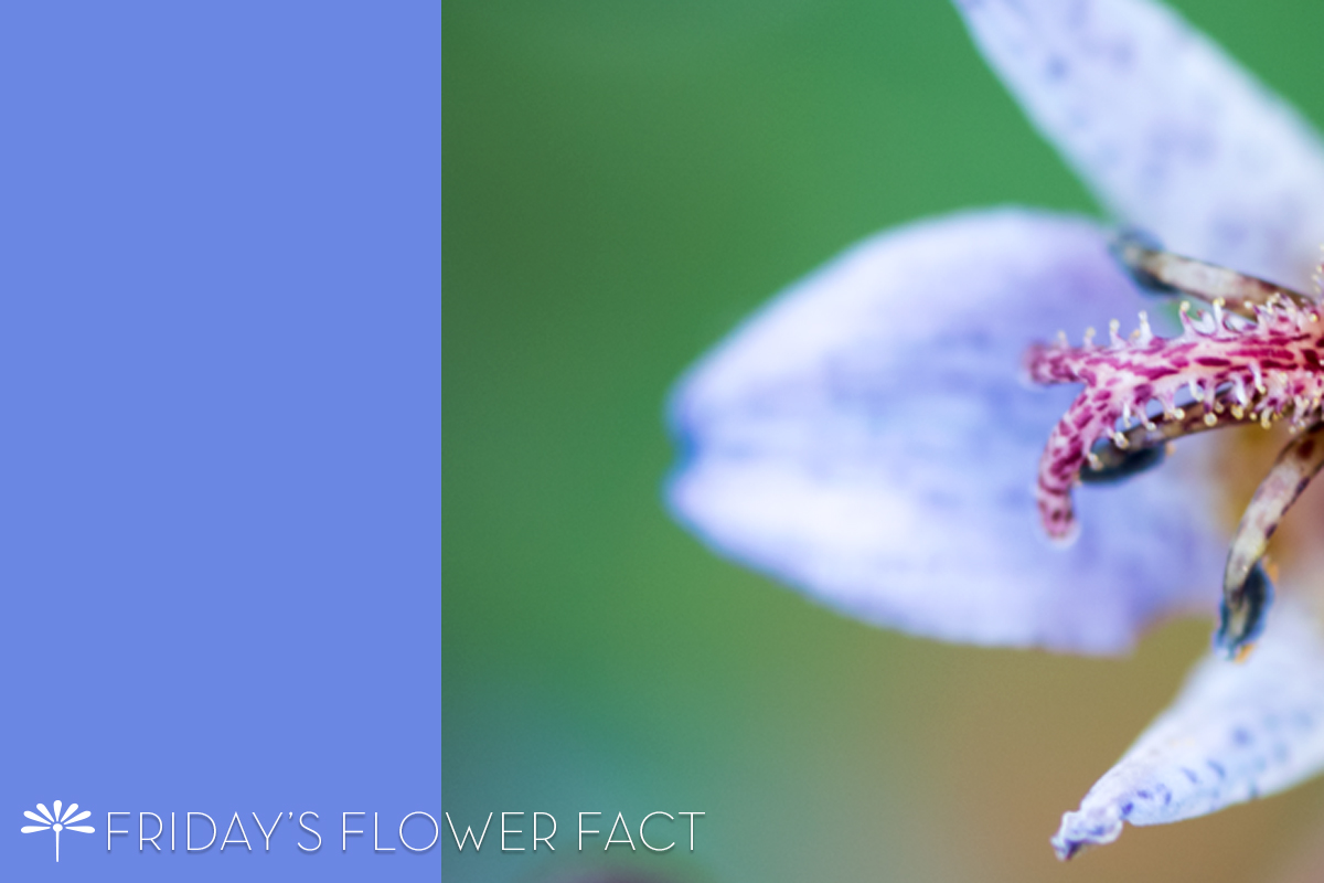 Raven's Toad Lily