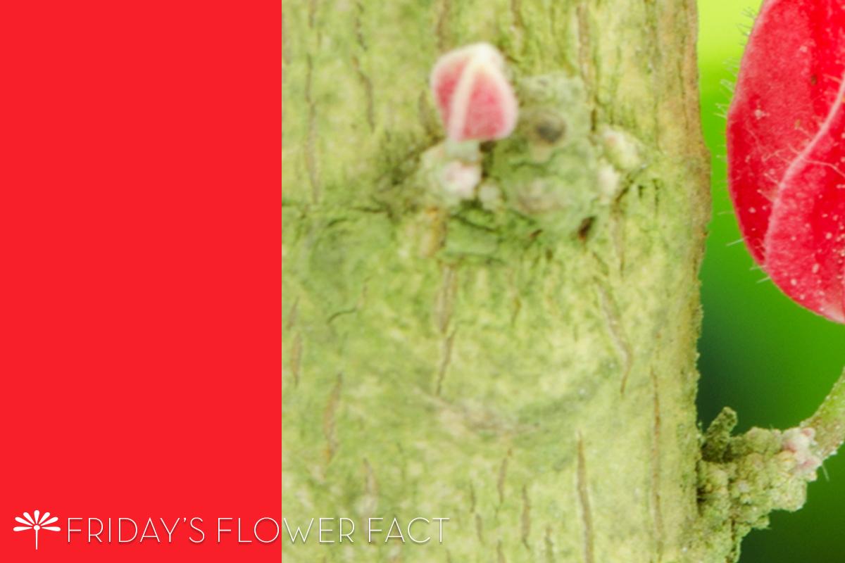 Pavonia Cauliflora | Friday's Flower Fact