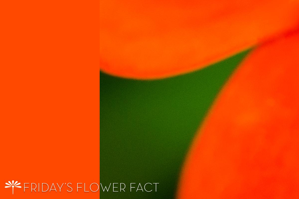 Scarlet Plume | Friday's Flower Fact