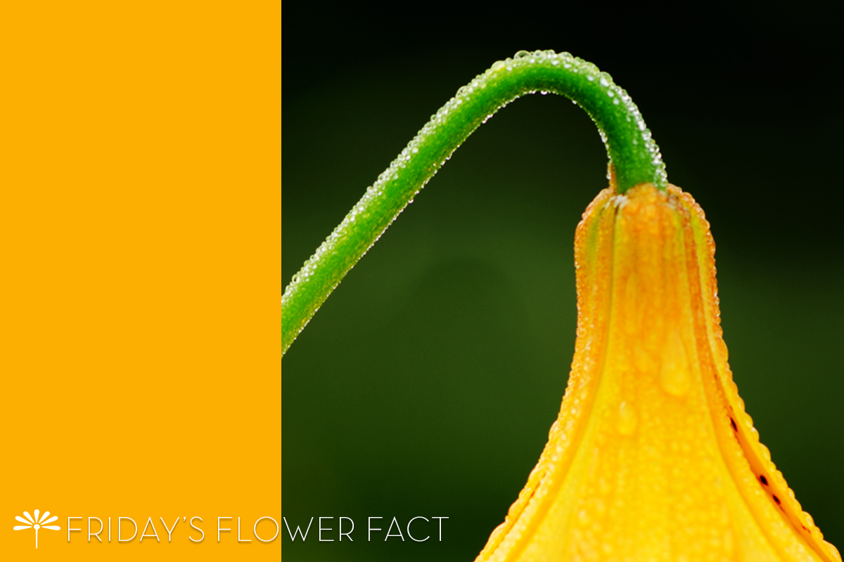 flower fact canada lily