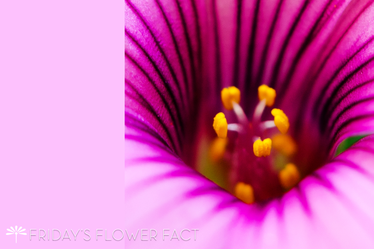 Pink Flowering Oxalis | Friday's Flower Fact