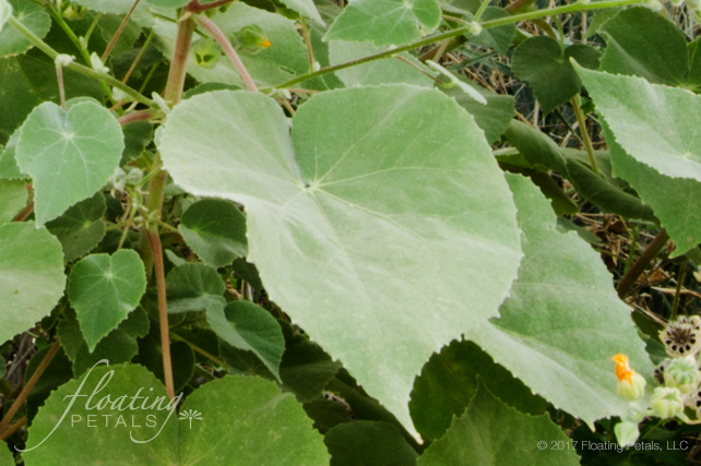 Superstition Mallow Floating Petals