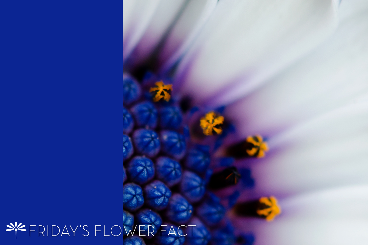 flower fact african daisy
