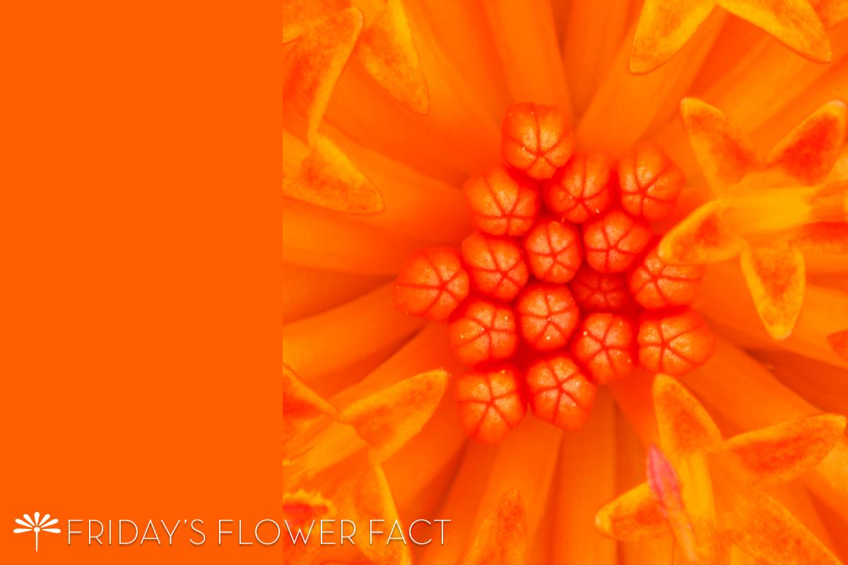 Flower Fact Coral Senecio