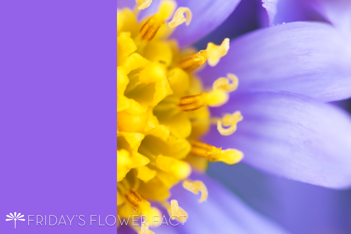 Tatarian Daisy Friday's Flower Fact