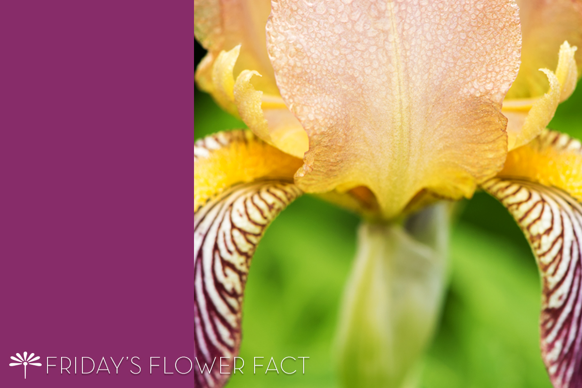Friday's Flower Fact Col Candelot Iris