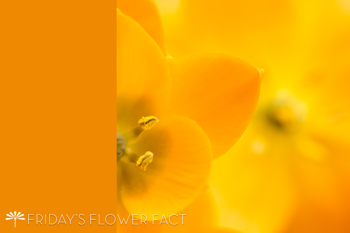Orange Star Friday's Flower Fact