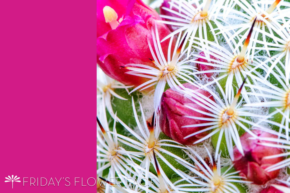 Friday's Flower Fact: Pincushion Cactus