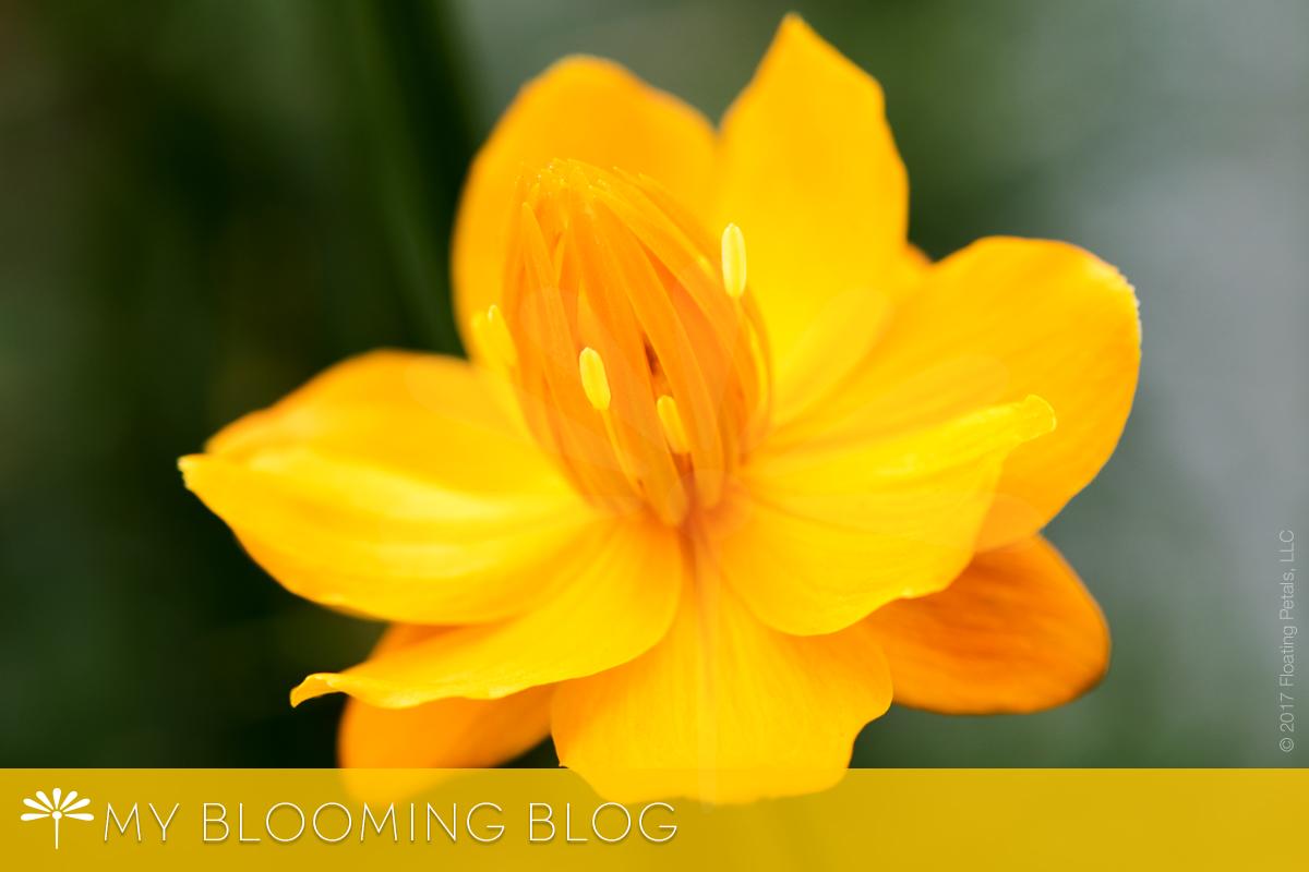 Golden Queen Globeflower