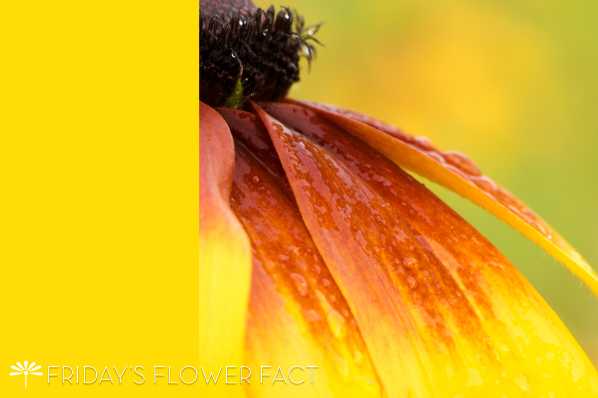 Flower Fact | Gloriosa Daisy