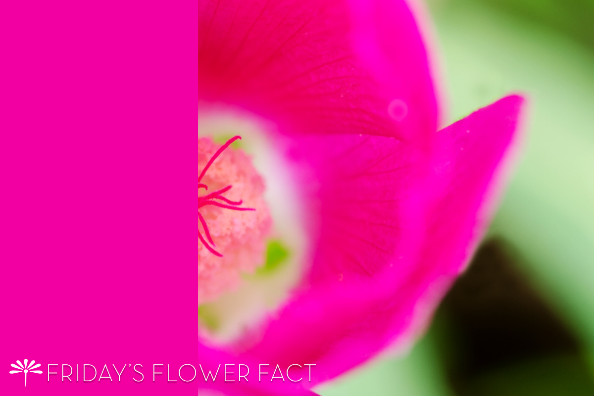 Friday's Flower Fact Poppy Mallow