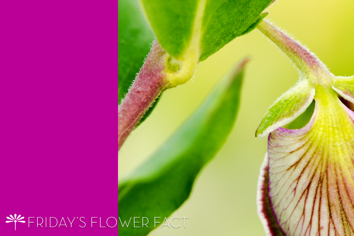 Friday's Flower Fact | Sweet Pea Shrub