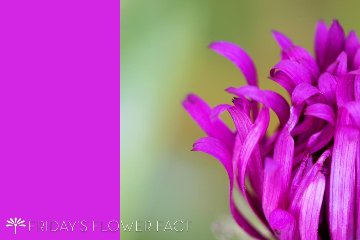 Friday's Flower Fact: September Ruby New England Aster