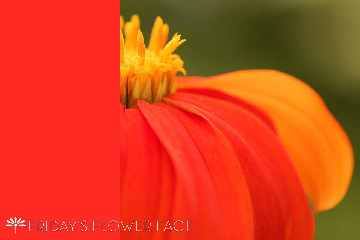 Friday's Flower Fact: Mexican Sunflower