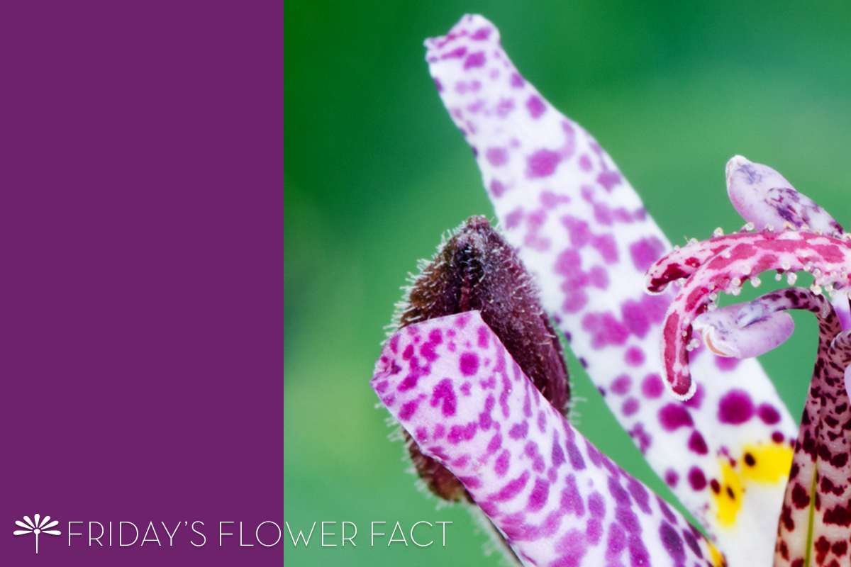 Friday's Flower Fact | Toad Lily Arctic Orchid