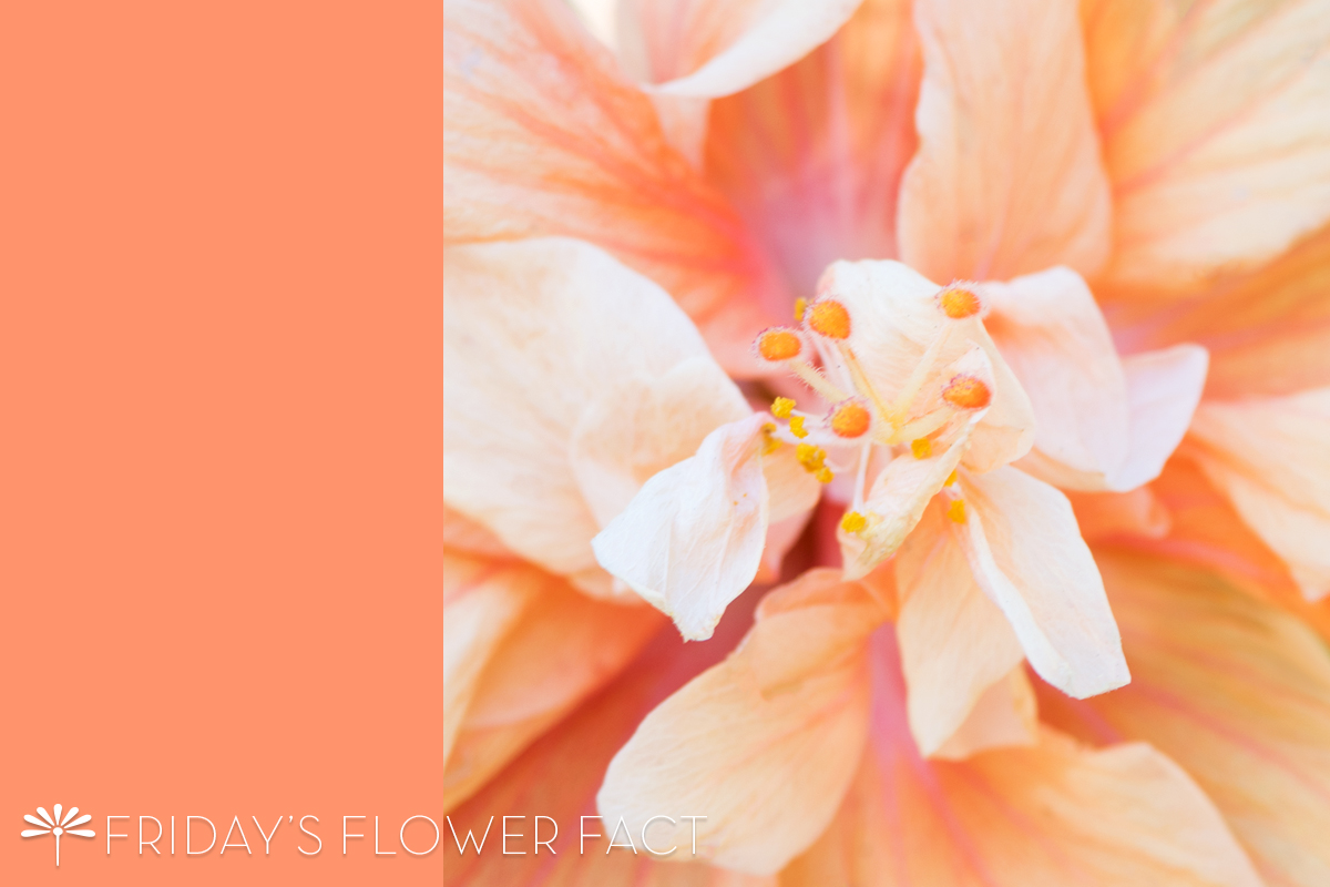 Friday's Flower Fact: Jane Cowl Tropical Hibiscus