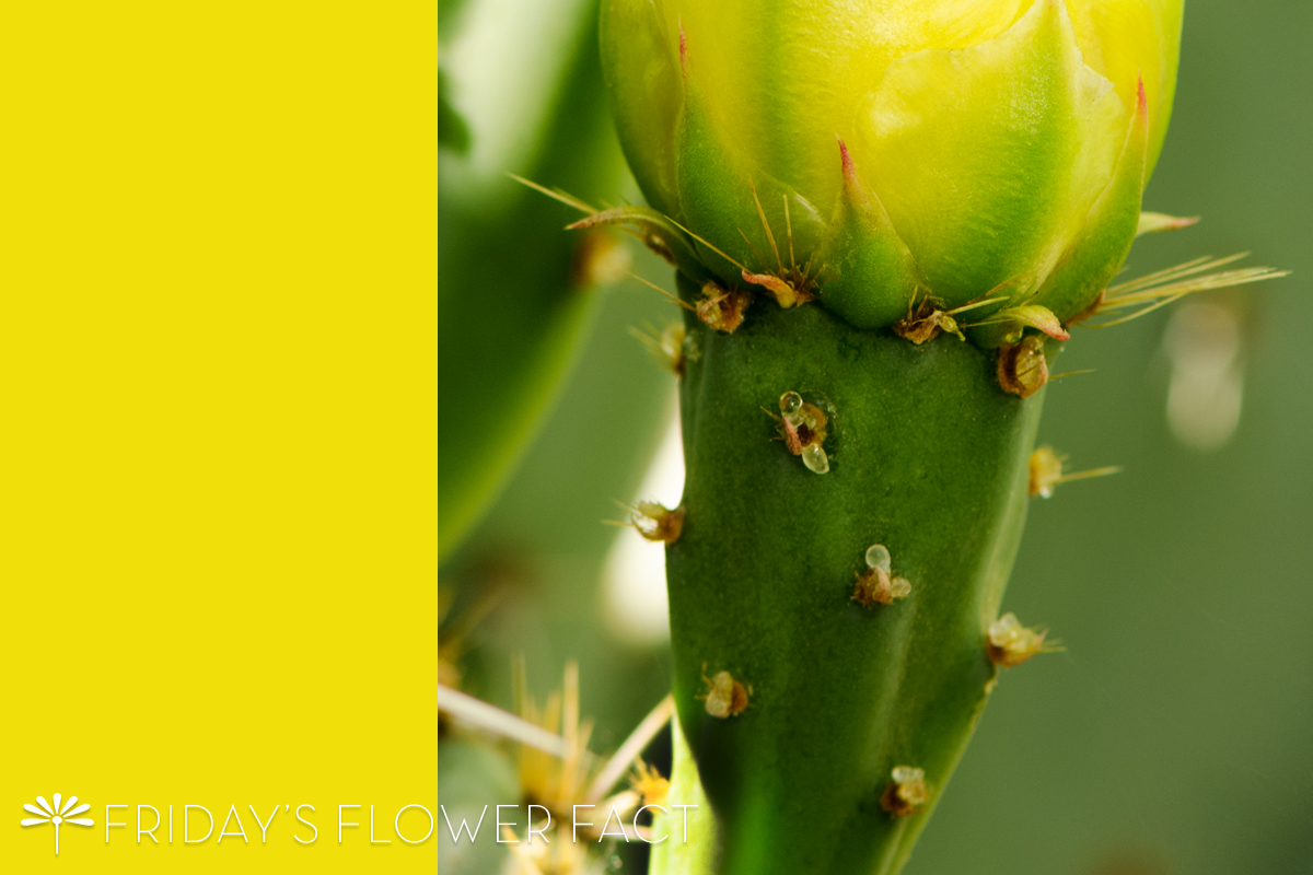 Friday's Flower Fact: Englemann's Prickly Pear Cactus