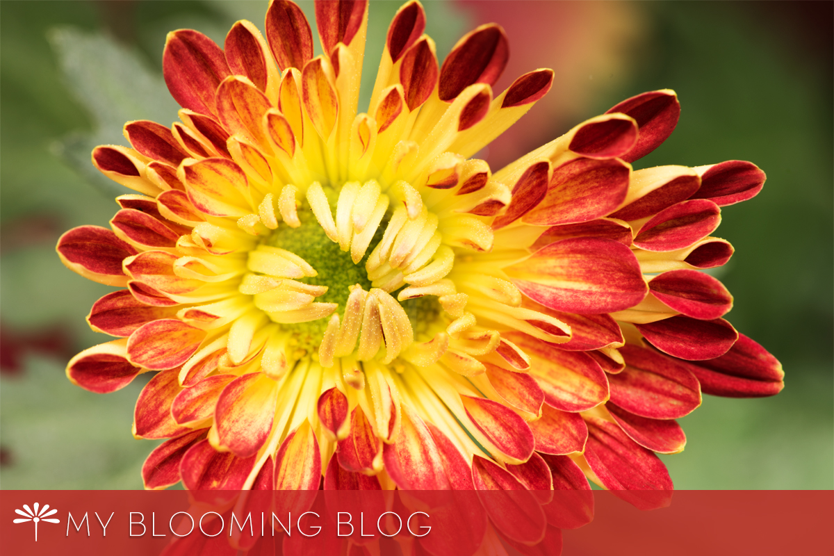 Mum's the Word: Chrysanthemum Festival