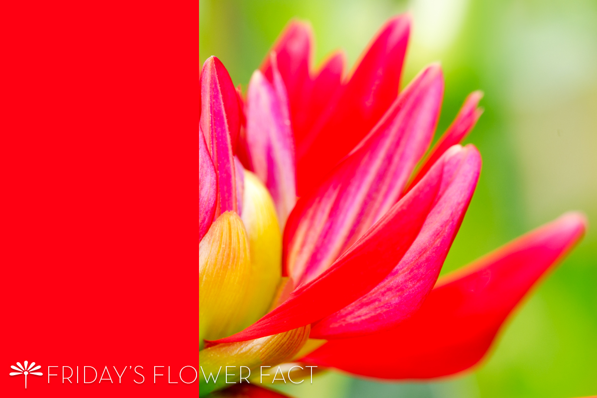 Friday's Flower Fact: Karma Thalia Dahlia