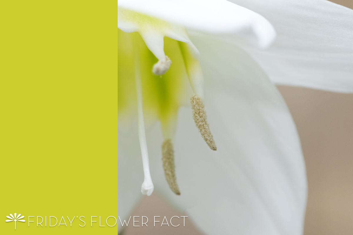 Friday's Flower Fact: Amazon Lily
