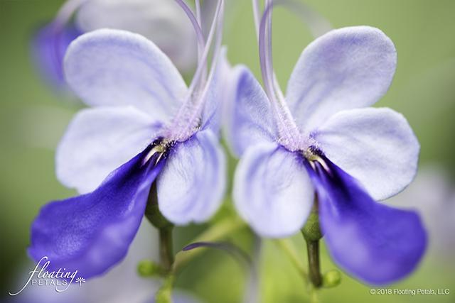 Blue Glory Bower