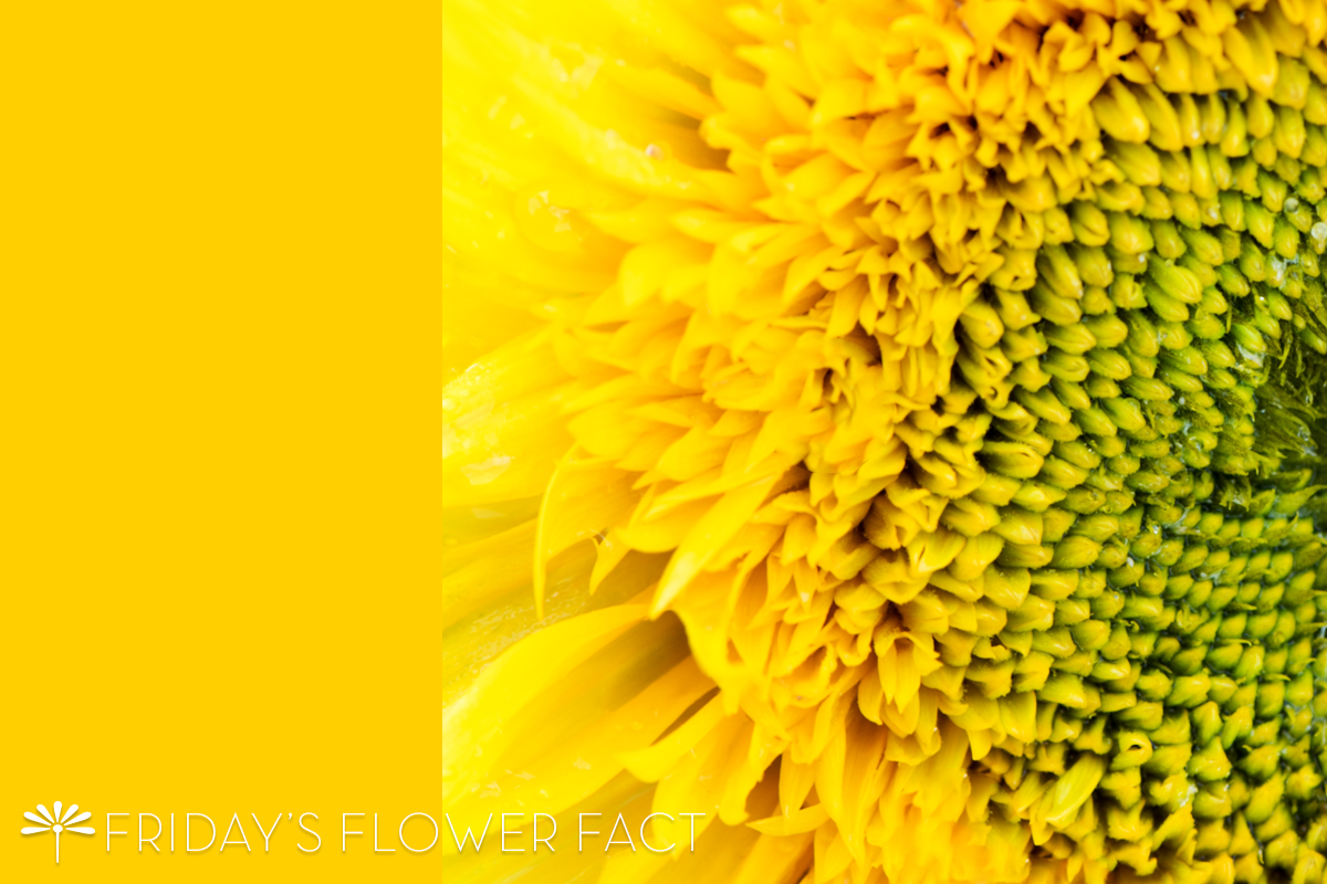 Friday's Flower Fact: Teddy Bear Sunflower