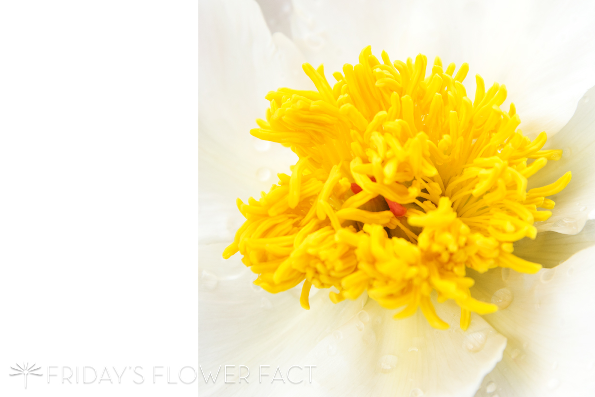 Friday's Flower Fact | White Krinkled Peony