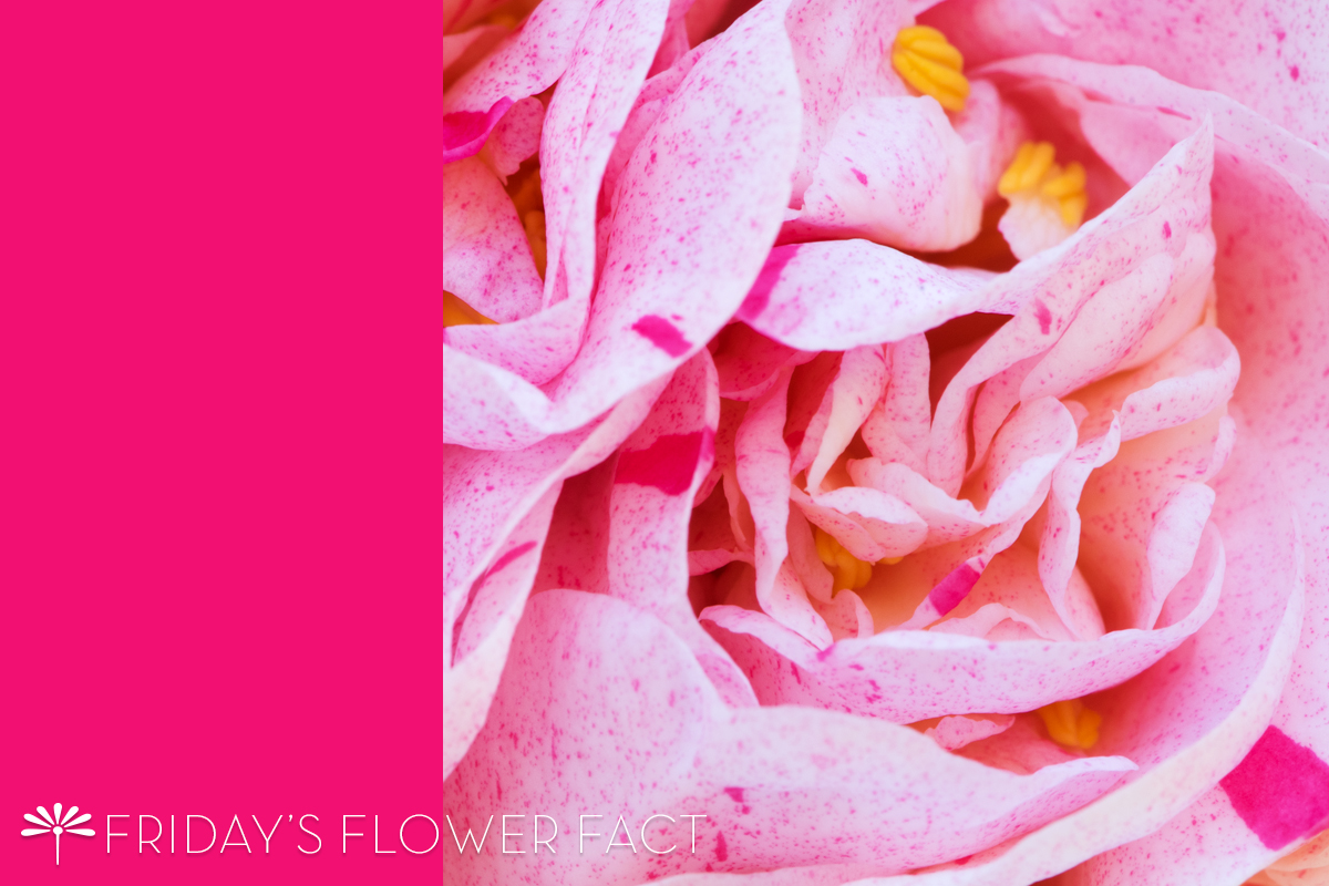 Friday's Flower Fact: Strawberry Blonde Camellia