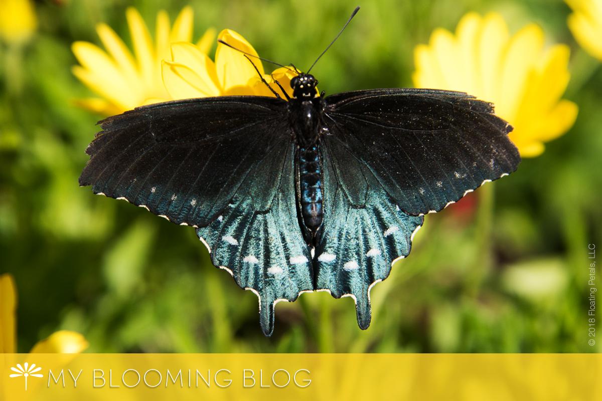 Butterflies Fluttering About