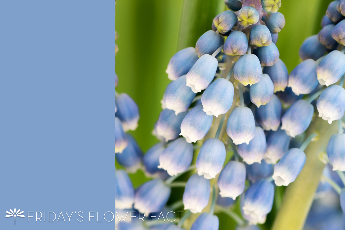 Friday's Flower Fact: Grape Hyacinth