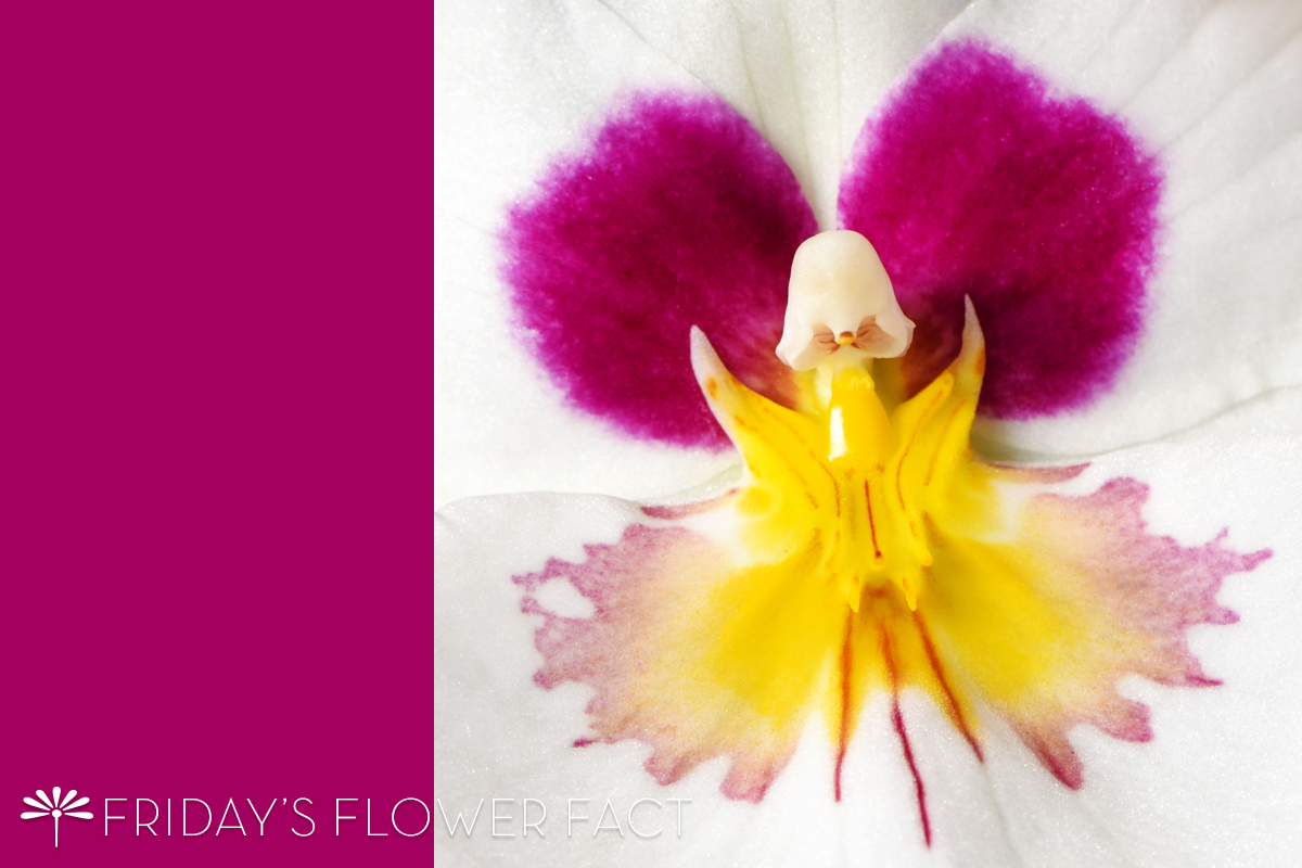 Friday's Flower Fact: Pansy Orchid