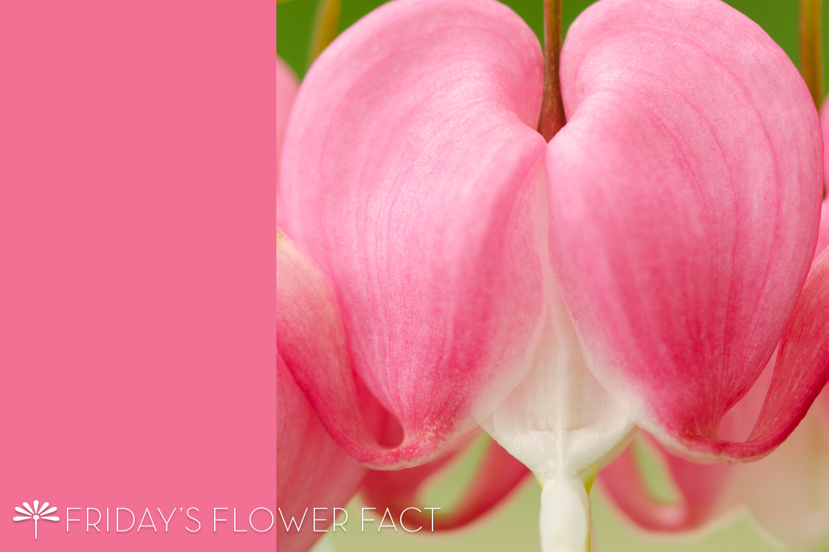 Friday's Flower Fact: Bleeding Heart