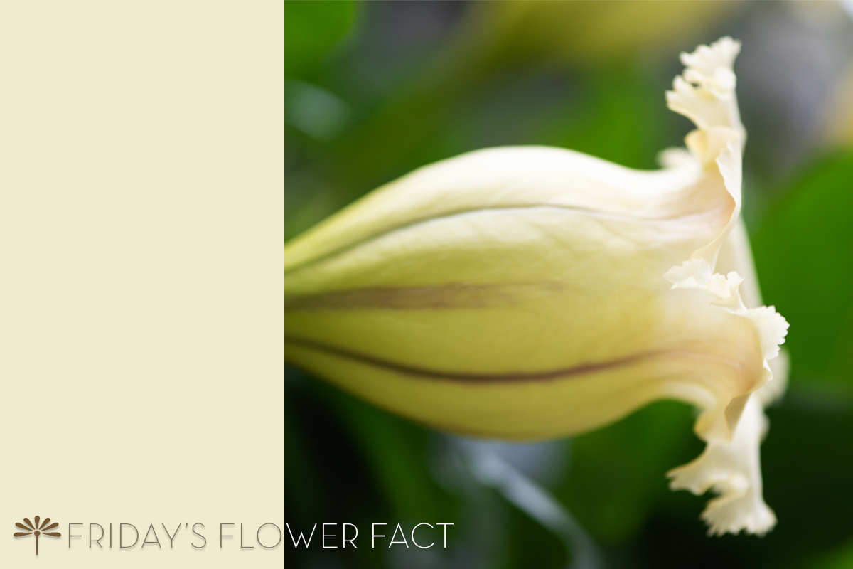 Friday's Flower Fact: Chalice Vine