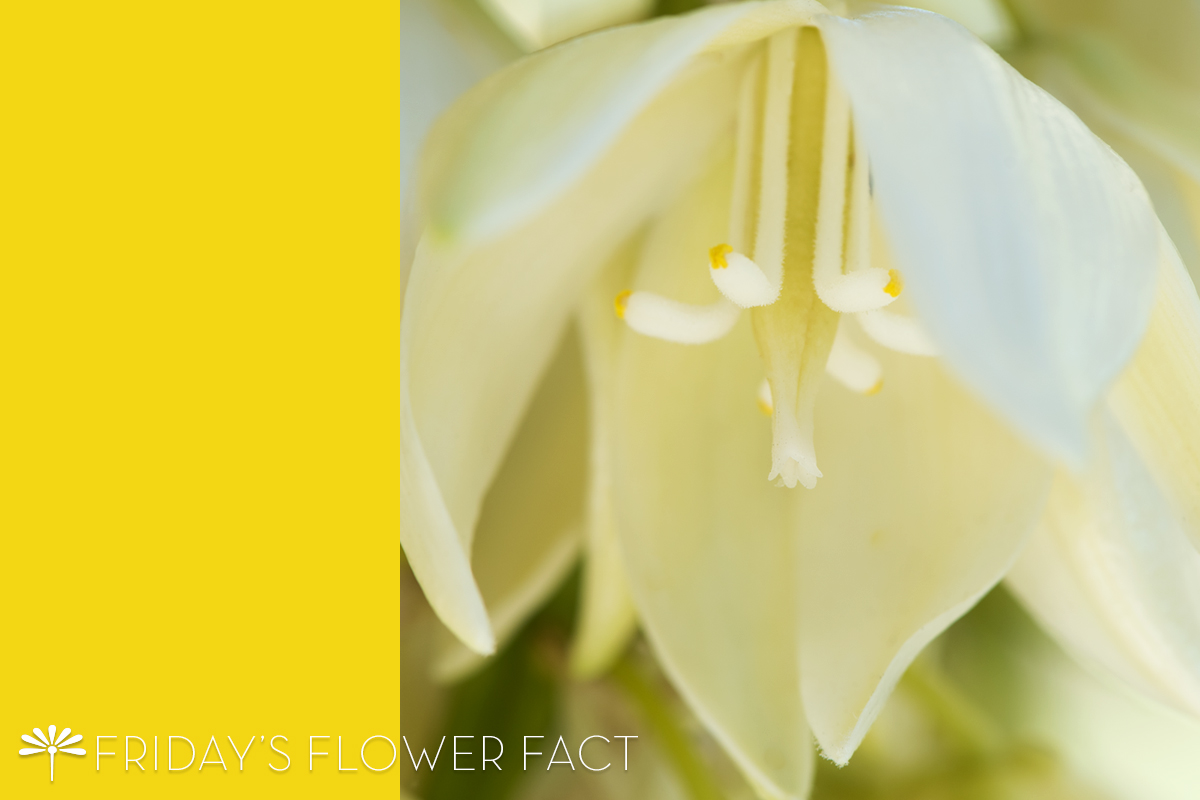 Friday's Flower Fact: Spanish Dagger