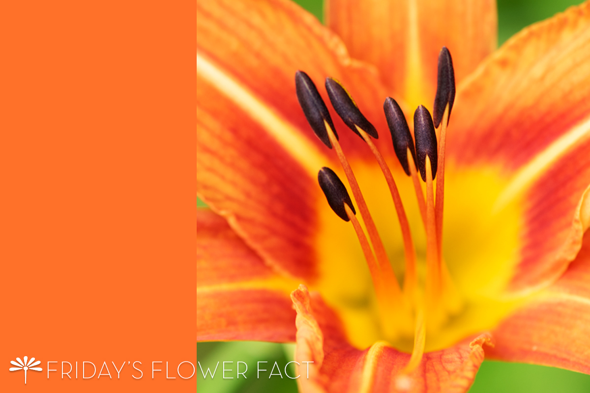 Friday's Flower Fact: Ditch Lily