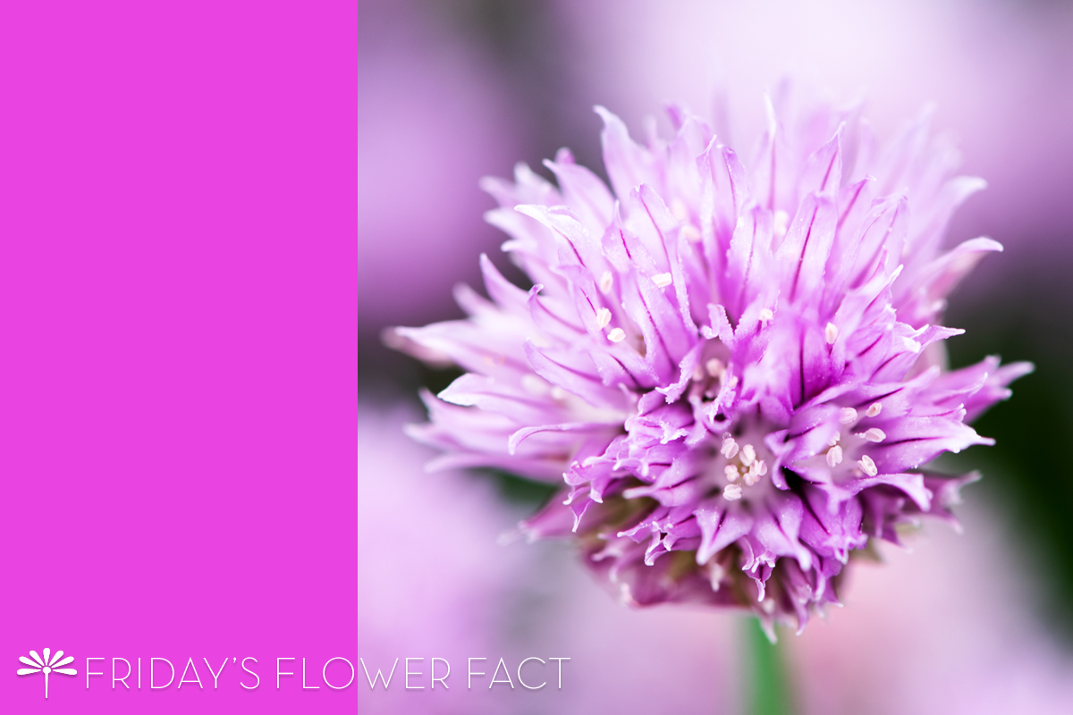 Friday's Flower Fact: Chive