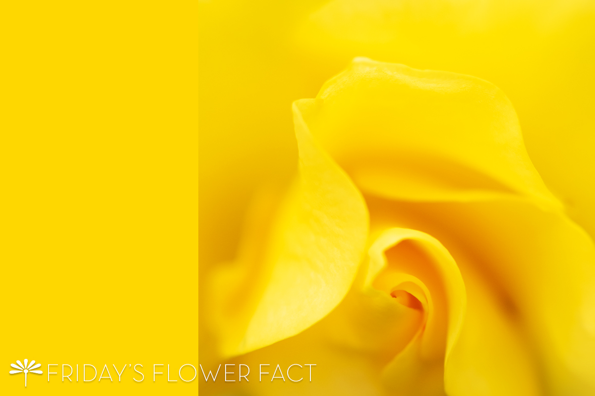 Friday's Flower Fact: Sparkle and Shine Rose