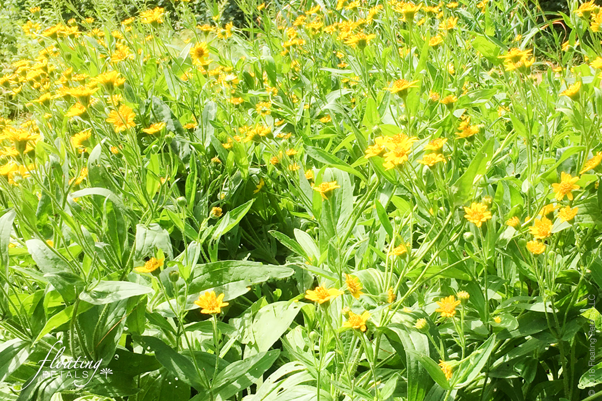 Arnica - Healing Herbs and Flowers