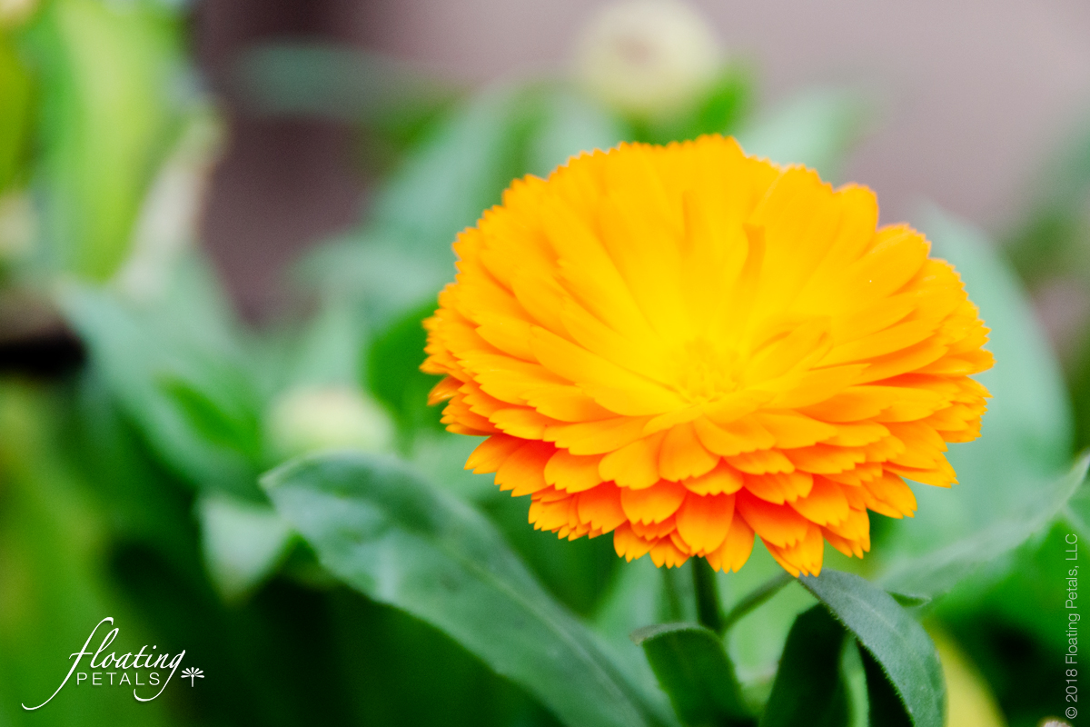 Calendula - Healing Herbs and Flowers