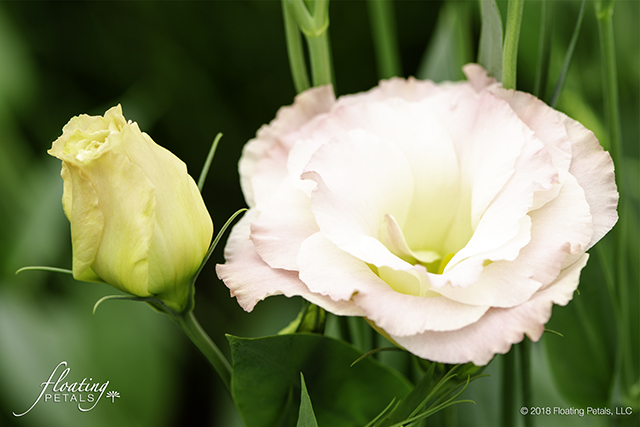 Echo Champagne Lisianthus