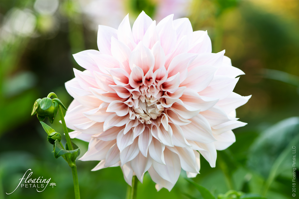 The Sublime World of Dahlias